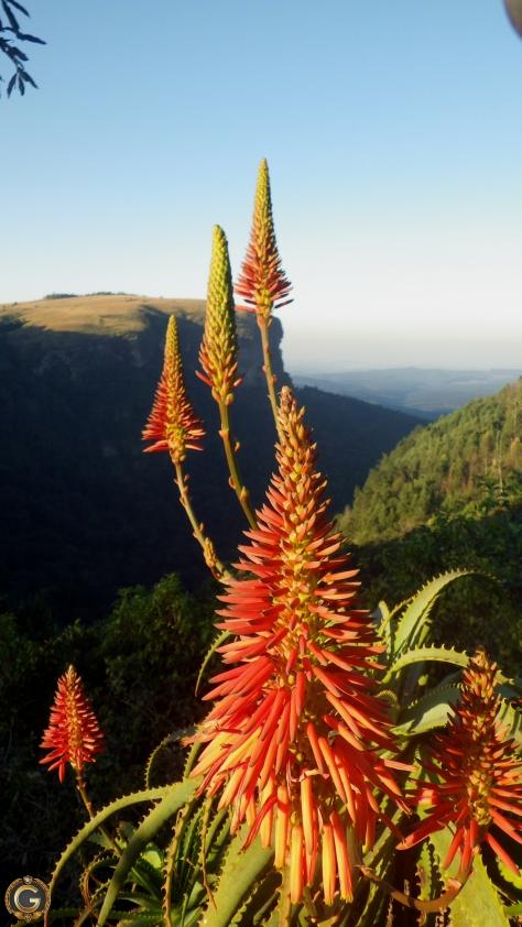 southafricanaloe2